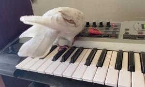 Pigeon Performs a Song and Dance on the Piano