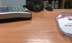 Kitten Requests Service at the Checkout Counter
