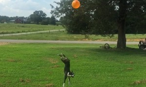 Boston Terrier refuses to let balloon touch ground