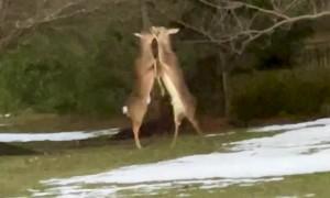 Deer Loses Antler During Intense Battle