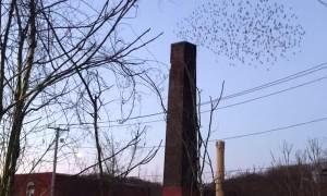 Flock Flies into Chimney