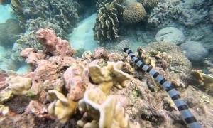 Diver Comes Face to Face with Sea Krait