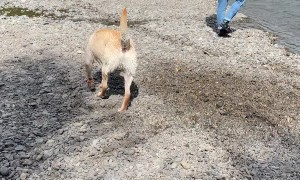 Fast Flowing River Drags Dog Downstream