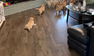 Pack of Puppies Play Chase
