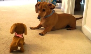 Puppy Hilariously Reacts After Meeting Toy Look-Alike