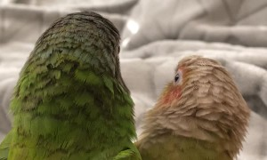 Conures Give Each Other Kisses