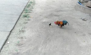Brave Chick Chases Rooster