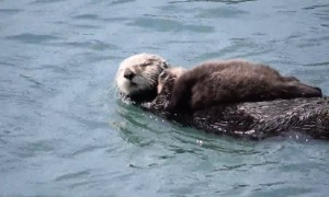 Mother Sea Otter Really Wants Baby To Quiet Down