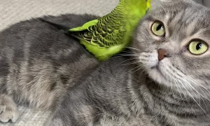 Birdie Climbs All Over Feline Best Friend