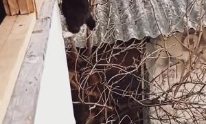 Agile Kitty Climbs Into House the Hard Way