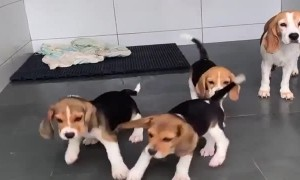 A Bunch of Beagles Dance with Broom