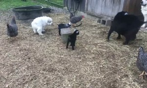 Great Pyrenees Pups Learning to Guard Pygmy Goats