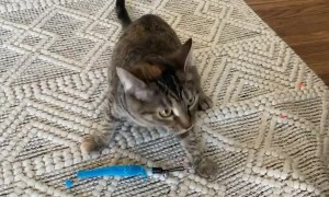 Tipsy the Cat Brings Mom a Toy