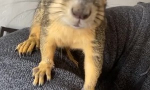 Friendly Squirrel Climbs over Clinician