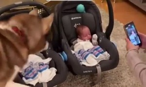 Husky finally meets twin babies after 55 days in the NICU