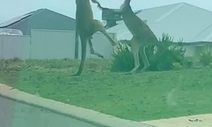 Fierce Front Yard Kangaroo Battle