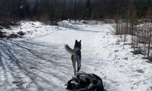 Adorable Husky Drags Lazy Sibling