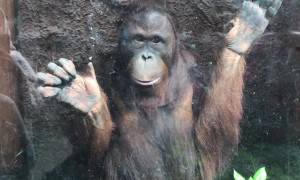 Startled Orangutang Slips Over