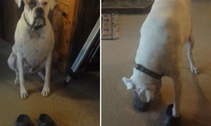Dog Hilariously Puts On Pair Of Crocs And Walks Around