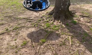 Border Collie Tries Tree Swing