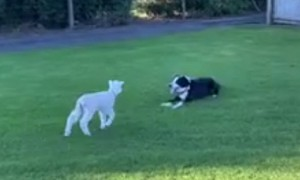 Dog And Lamb Are Best Friends And It's Adorable