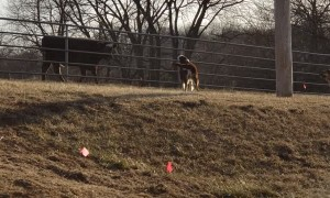 Cow Has Fun with Dogs at Fence