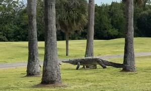 Enormous Crocodile Walks through Golf Course
