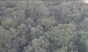 Wedge-Tailed Eagle Swoops at Drone