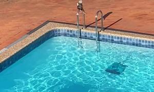 Kookaburra Takes a Bath in Backyard Pool