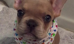 Puppy Adorably Tries His Best To Say I Love You