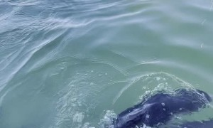 Dolphin Shows of Her Calf to Dolphin Feeding Cafe