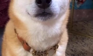 Shiba Inu Is Quite the Drama Actor