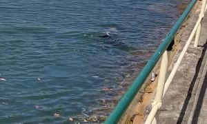 Seal Shows Off in Mosman Bay