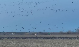 So Many Geese in One Cornfield