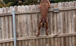 Nimble Pup Peeks Over Fence
