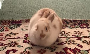 Emily the Rabbit Laying Down in Loaf Mode