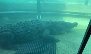 Hungry Croc Takes His Shot At the Zoo