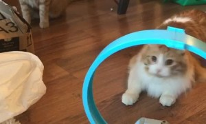 Cat Fascinated by Toy Car