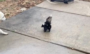 Molly the Dog Intrigued by Skunk