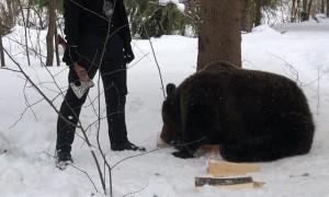 Tom the Brown Bear Helps Get Firewood
