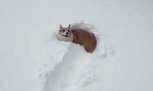 Tiny Puppy Adorably Struggles To Walk Through Deep Snow