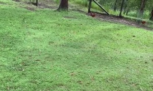 Cheeky Cockatoo Chews on Wallaby's Tail