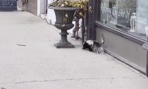 Skunk Spotted Casually Strolling Along Sidewalk