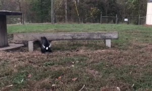 Baby Pygmy Goat Plays with Kittens