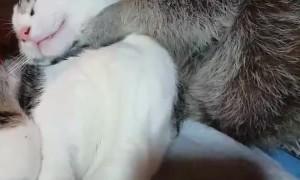 Raccoon Helps Cat Keep Clean