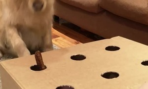 Golden Retriever Bamboozled by Sausage Game