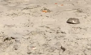Ghost Crab Takes Cheeto Back to Lair