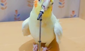 Talented parrot has extraordinary singing skills