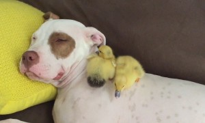 Rescue Puppy Naps With Tiny Foster Ducklings