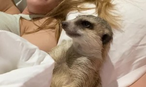 Tired Meerkat Wants Movie Time to End